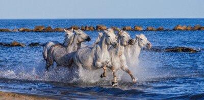Póster Caballos blancos de Camargue que galopan a lo largo de la playa del mar. Parc Regional de Camargue. Francia. Provence. Una excelente ilustración