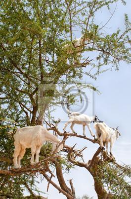 Cabras en un árbol de argan, Essaouira, Marruecos