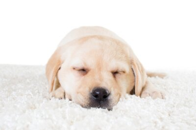 Póster Cachorro labrador durmiendo en una alfombra esponjosa