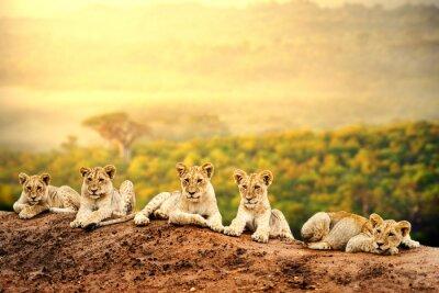 Póster Cachorros de león esperando juntos.