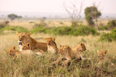 Póster Cachorros de león Pequeños relajantes