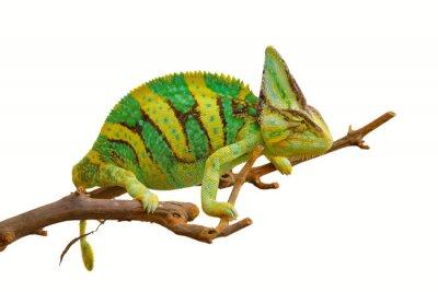 Póster camaleón