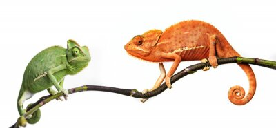 Póster camaleón - Chamaeleo calyptratus en una rama