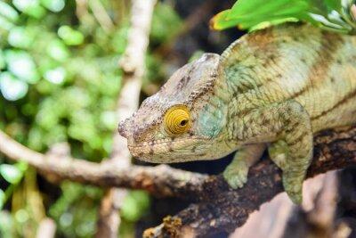 Póster Camaleón verde lagarto en la rama