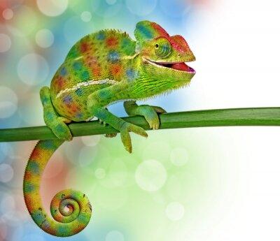 Póster camaleón y colores