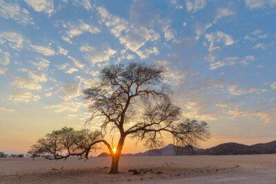 Camel thorn tree at sunrise