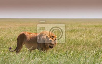 Caminando el león grande en la sabana africana