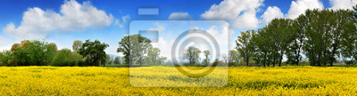 Campo amarillo Rapen y cielo azul profundo