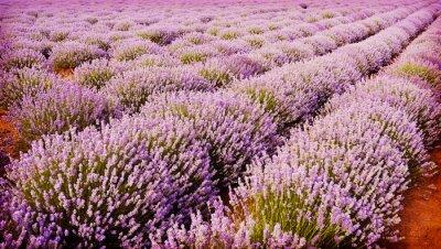 Póster Campo de flores de lavanda