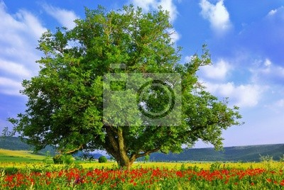 Campo de la amapola, cielo azul y árbol verde grande 2