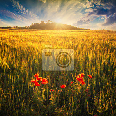 Campo de trigo con poppys rojo
