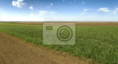 Campo de trigo de maduración en primavera en el cielo azul