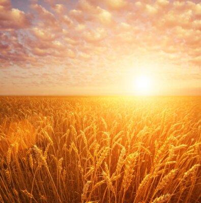 Campo de trigo sobre el cielo nublado