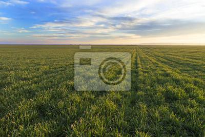 Campo verde de la maduración del trigo sobre el cielo azul