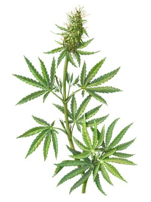 Póster Cannabis Female Plant Pencil Illustration Isolated on White
