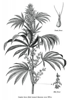 Póster Cannabis sativa male tree botanical vintage engraving illustration black and white clip art isolated on white background