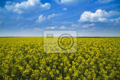 Canola, campo de cultivos de colza en flor durante couds azules