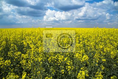 Canola, cosechas de colza campo floreciente sobre couds azules