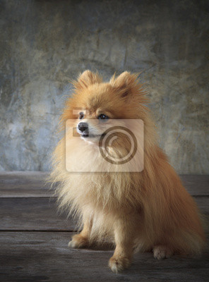 cara de perro pomeranian
