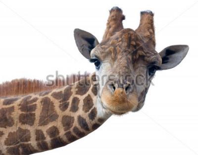 Póster Cara principal de la jirafa aislada en el fondo blanco