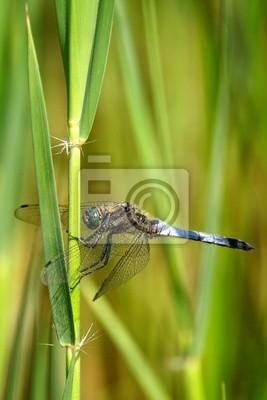 Cazador de cuerpo amplio de la libélula