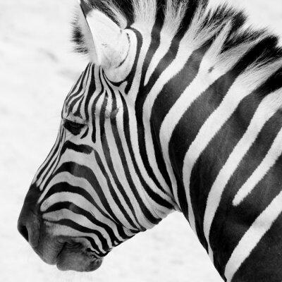 Póster Cebra blanco y negro