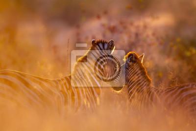 Cebra de llanuras en el Parque Nacional Kruger, Sudáfrica