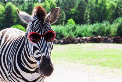 Póster Cebra divertida con las gafas de sol