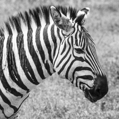 Póster Cebra en el Parque Nacional. África, Kenia
