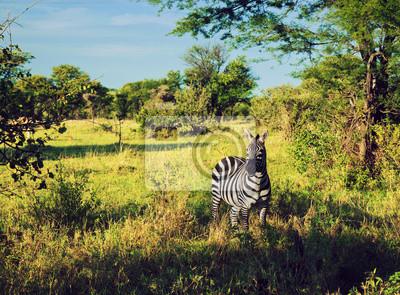 Cebra en la hierba en la sabana africana. Safari en el Serengeti, Tanzania