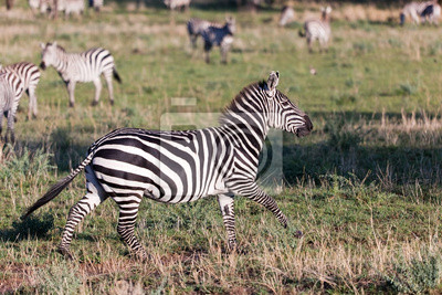 Cebra en la sabana africana.