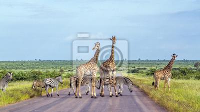 Cebra jirafa y las llanuras en el Parque Nacional Kruger, Sudáfrica