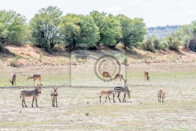 Cebras de montaña con Kudus mayor pastando