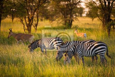 Cebras en la sabana africana en la luz dorada