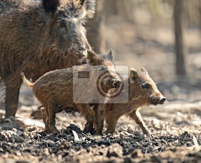 Cerdo salvaje con los bebés
