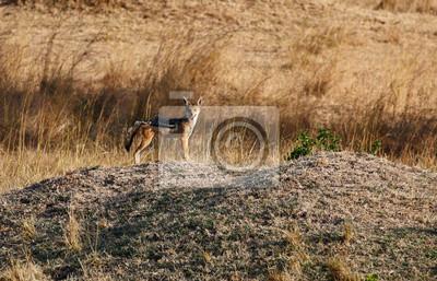Chacal en la sabana africana