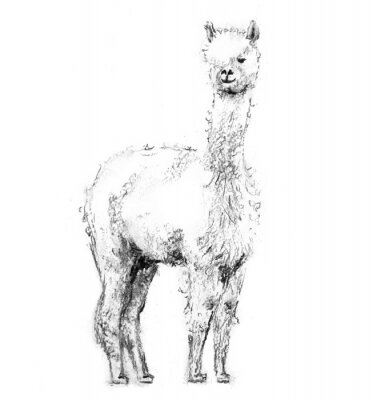 Póster Charcoal drawing lama with forelock standing and looking forward