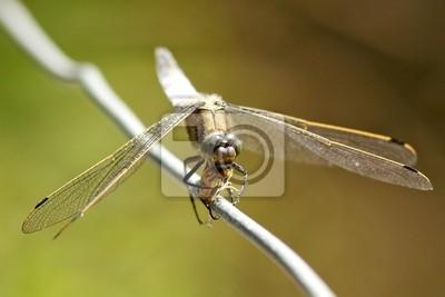Chaser Dragonfly comiendo una mosca revoloteando