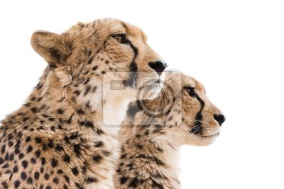 Cheetahs retrato de fondo blanco