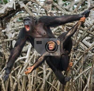 Chimpancé hembra con un bebé. imagen divertida