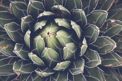 Póster Cierre de agave planta suculenta, enfoque selectivo, tonificación