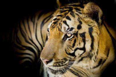 Póster Cierre de tigre