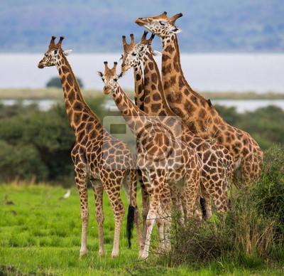 Cinco jirafas en la sabana. Uganda.