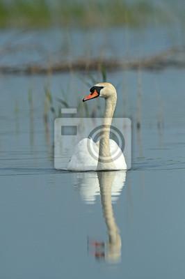 Cisne Cantor volando sobre los humedales