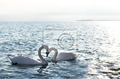 Cisnes en el amor