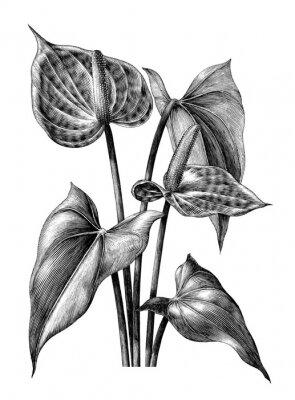 Póster Clip art de la ilustración del grabado de la vendimia del Anthurium aislado en el fondo blanco
