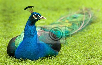 Close up retrato de un pavo real