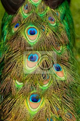 Cola de un pavo real macho