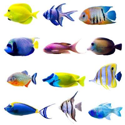 Póster Colección de peces tropicales