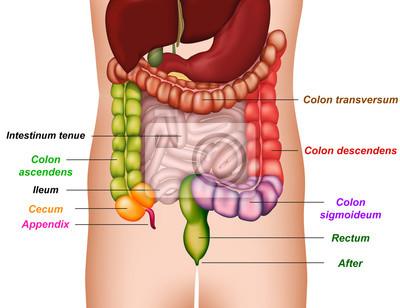 Colon anatomía, médicos ilustración vectorial carteles para la pared ...